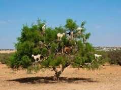 The Argan Tree, Morocco's Secret
