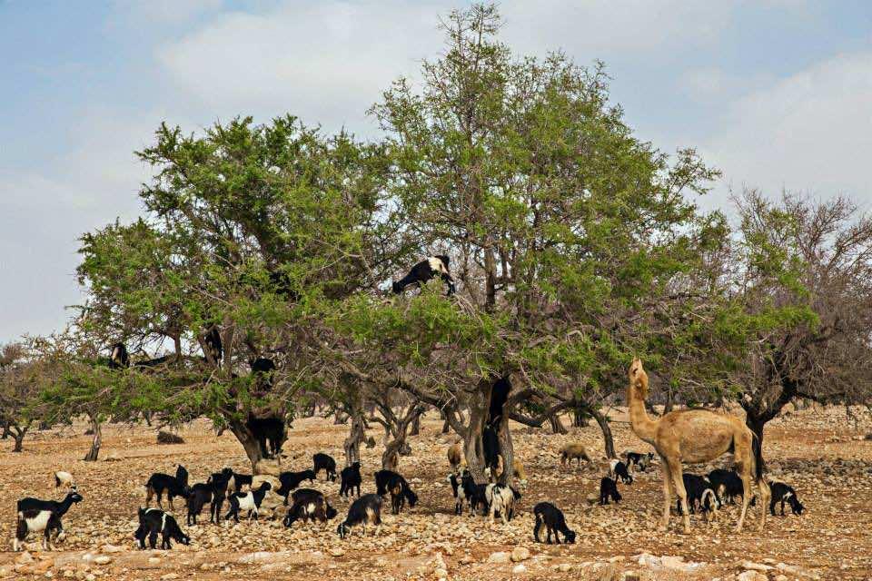 Goats and a camel graze on argan fruits along a stretch of road near Essaouira