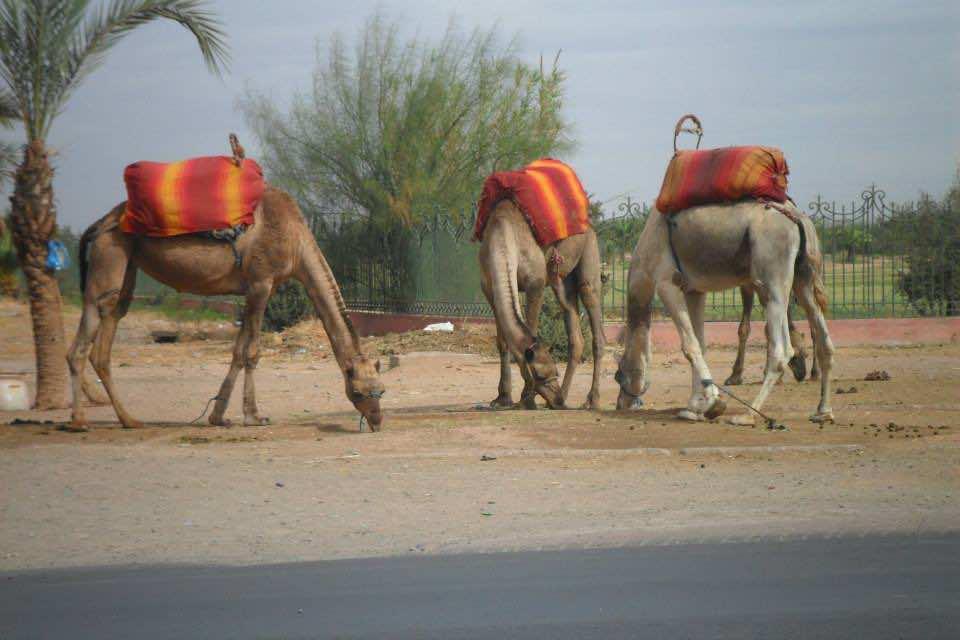 Camels in Morocco Sahara (Moroccan Desert)