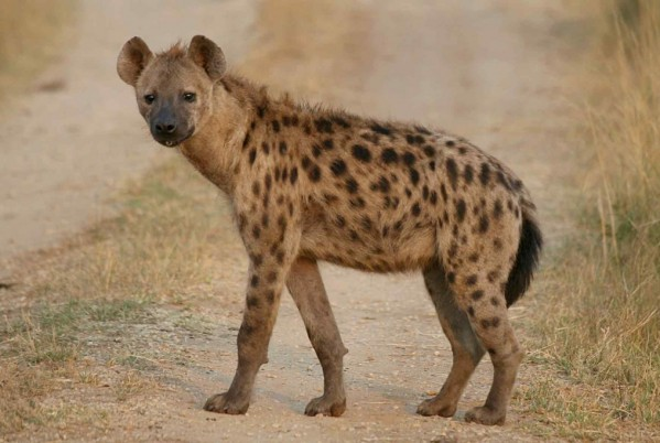 Morocco, Wife of Former Minister Allegedly Buys a Hyena For Witchcraft