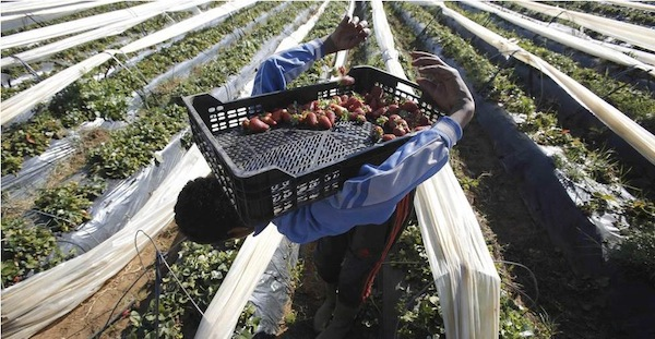 Morocco, world's fifth exporter of strawberries