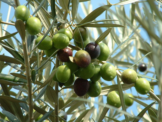 are olives a fruit the fruit club