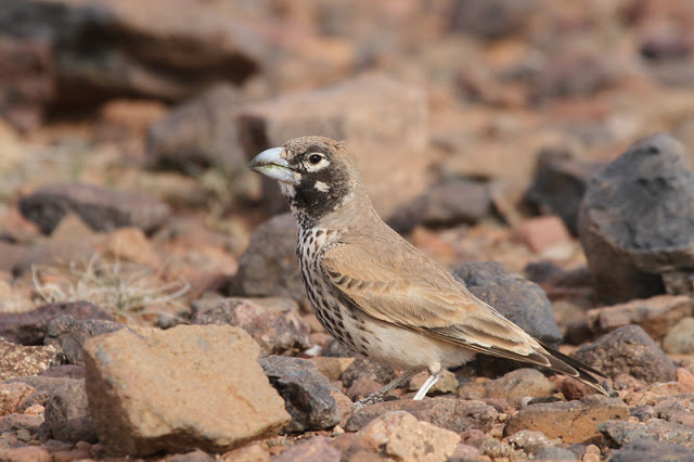 Thick-billed Lark. Photo courtesy Lee Dingain