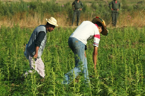 Cannabis Farms Cover 500 Square Kilometers of Northern Morocco