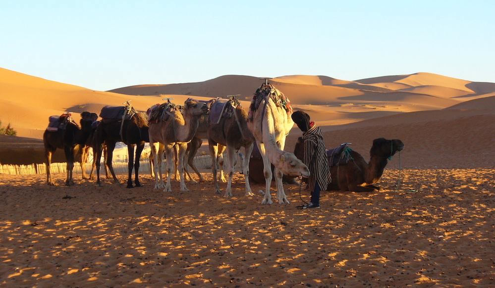 Camels in the Moroccan Sahara Desert
