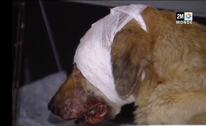 Animal Abuse: A look at Conditions of Animal Welfare in Morocco