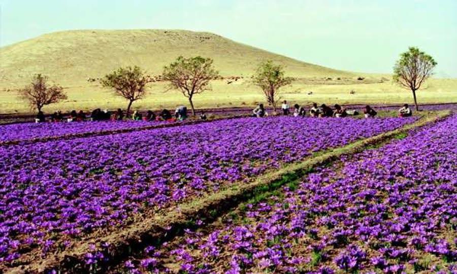 Saffron farms in Taliouine