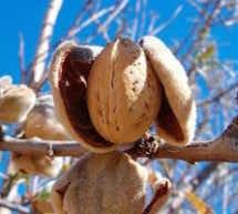 Almond Blossom Festival in Tafraout