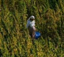 Movement Calls for Legalizing Cannabis in Morocco