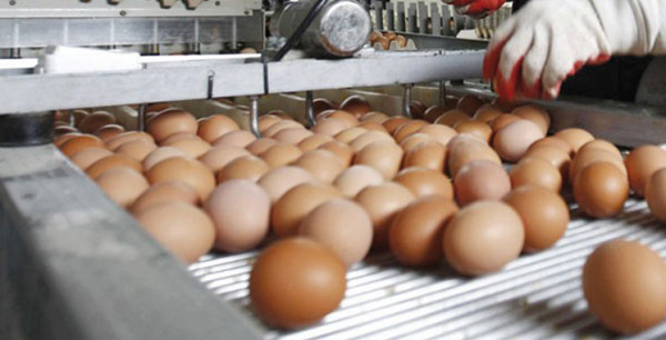 Morocco Produces 5.5 Billion Eggs, Consumes 180 Per Capita