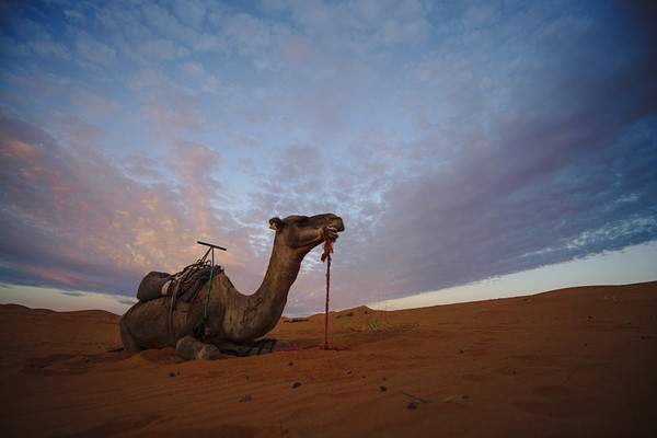 Camel in Moroccan desert at night