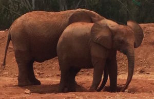 The Elephant at the Rabat Zoo