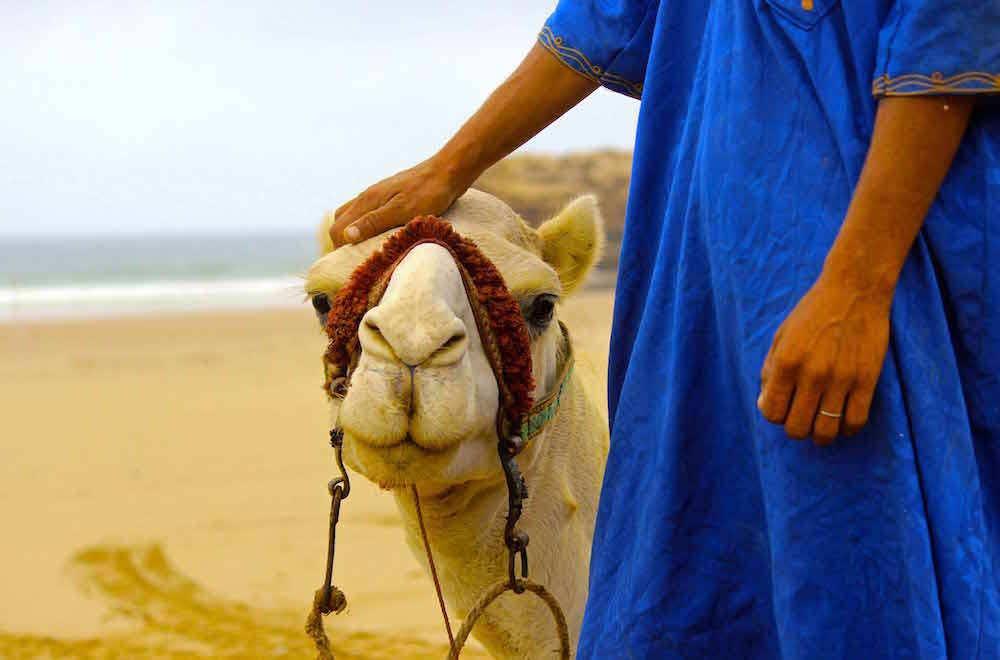 Discover Morocco/ camel in the Sahara Desert. Emily Rathmanner