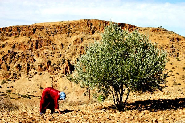 Morocco's ONSSA Warns of Bacteria Affecting Olive Trees