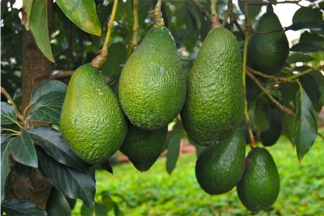 Morocco's Avocados Production Up by 35%