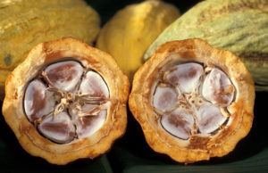 OCP to Aid Cacao Production in Cote D'Ivoire