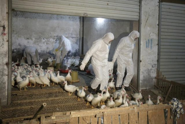 China Jan. Bird Flu Deaths Hit 79