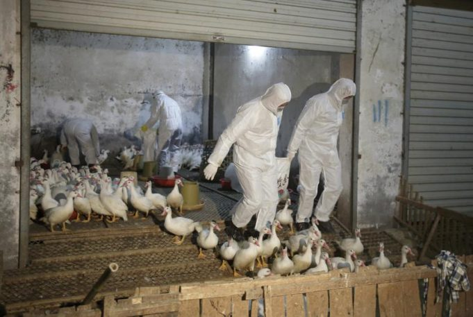 China Jan. Bird Flu Deaths Hit 79