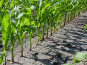 Ministry of Agriculture Predicts Exceptional Crop Growth in 2017