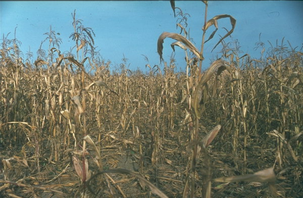 damaged wheat