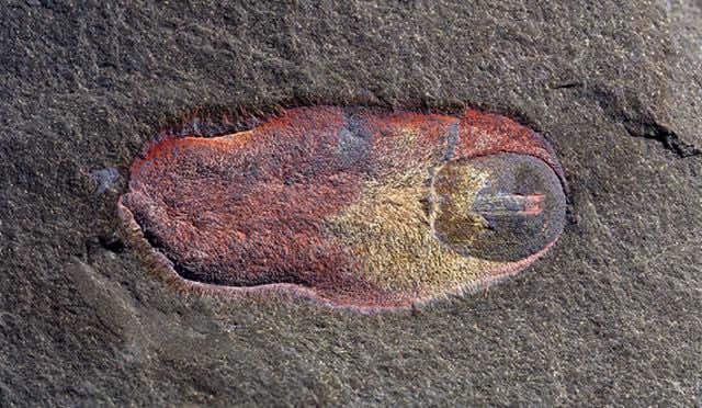 holotype spiny slug