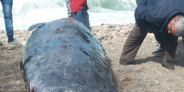 Rare Whale Runs Aground Near Al Hoceima