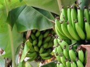 Morocco to Start Importing Plantains from Canary Islands