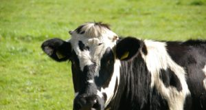 Moroccan Food Safety Authority Launches Vaccination Campaign Against Cattle Virus Outbreak