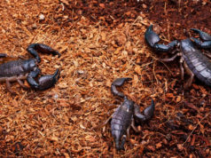 Scorpions Stings Send Fifteen Children to Hospital in Central Morocco