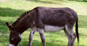 15 Minors Treated for Rabies After Engaging in Bestiality with Donkey