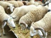 ONSSA Certifies 8.1 Million 'Sacrificial' Livestock for Eid al-Adha