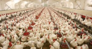 Ghana Seeks Moroccan Expertise to Develop Poultry Sector