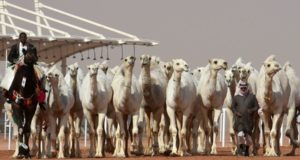 Camels Disqualified From Beauty Contest After Botox Injections