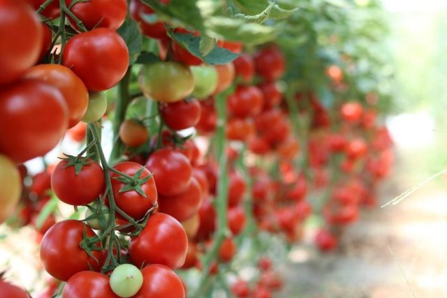 Moroccan Farmers Planting Fewer Tomatoes, More Blueberries