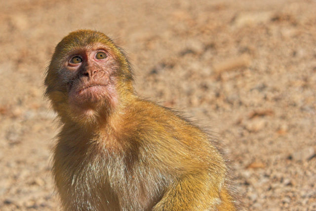 Illegal Hunting in Morocco Endangers Last Remaining Magot Monkeys