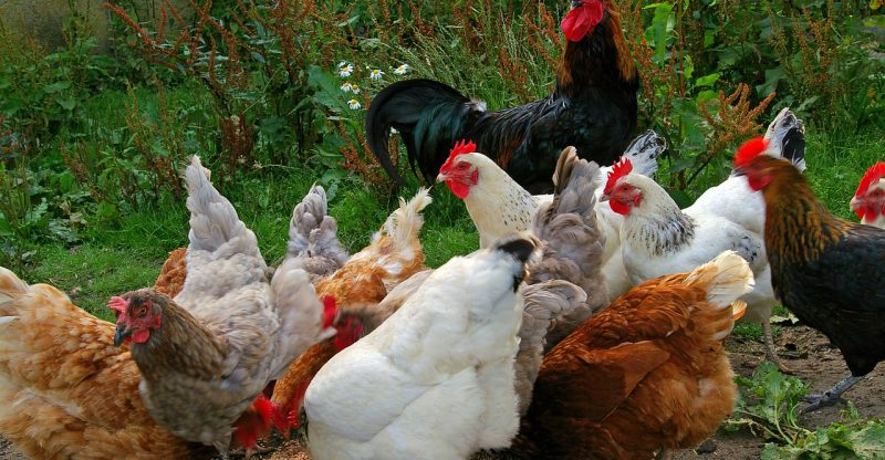 Authorities Seize Chicken Droppings In Khenifra