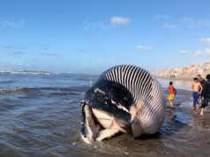 Giant Blue Whale Carcass Found on Casablanca Beach