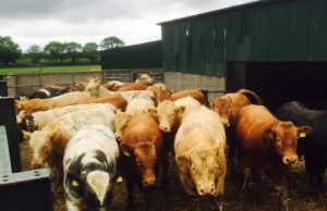 Irish Court Convicts Vet for Export of Unhealthy Cattle to Morocco