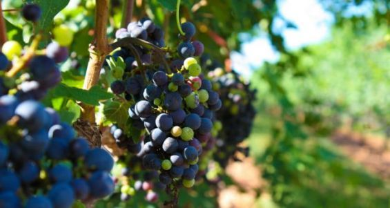 Egypt To Begin Exporting Grape Seedlings to Morocco