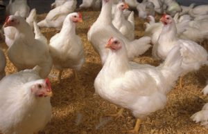 Morocco Agrees to Import US Poultry