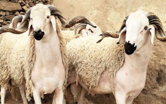 Moroccan Leather Industry to Use Sacrificed Eid Al Adha Animals' Skins