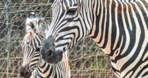 Rabat's National Zoological Garden Welcomes Baby Zebra