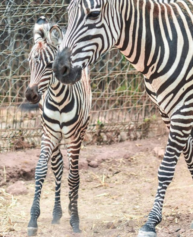Rabat's National Zoological Garden Welcomes Baby Zebra