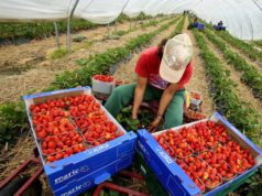 2,500 Moroccan Seasonal Workers in Spain Do Not Want to Return