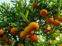 First Shipment of Moroccan Citrus Arrives in the US and Canada