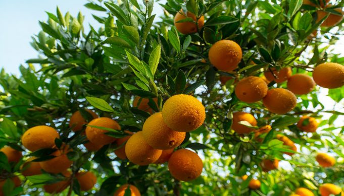 Morocco to Limit Citrus Exports After 50% Production Drop