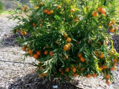 US LGS Import Company Expects 'Optimum' Citrus from Morocco This Year