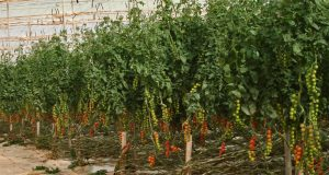 Morocco's Greenhouse Cultivation Grows Faster Than Spain's