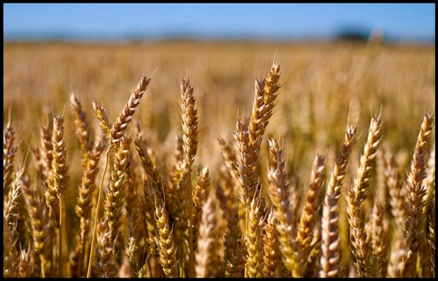 Morocco Extends No-Duty Soft Wheat Imports to Keep Price Stable