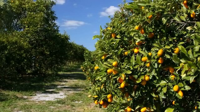 USDA Report: Morocco Expects Record in Citrus Production in 2018-2019